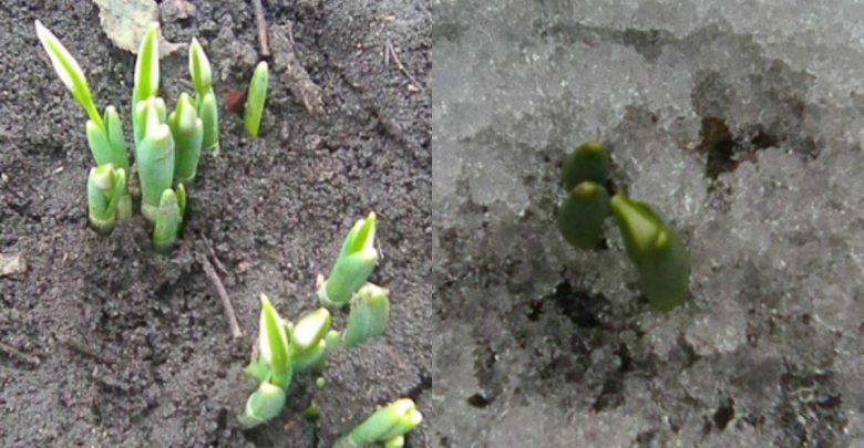 Photo of foto   Primăvară în februarie: În grădina unor gospodari din raionul Edineț au înflorit primii ghiocei