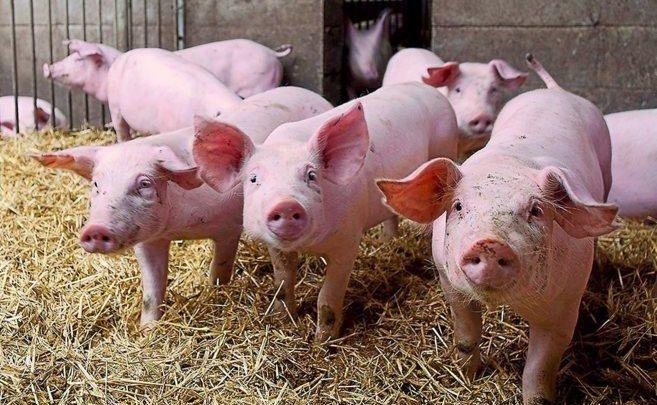 Photo of video   Focar de pestă porcină, depistat în Găgauzia. La intrarea și ieșirea din satul Beșghioz au fost instalate filtre sanitare