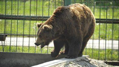Photo of O nouă casă pentru urșii Mashka și Vorciun de la Grădina Zoologică din Chișinău. Animalele vor avea voliere mai spațioase