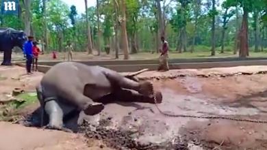 Photo of video | Ți se rupe inima: Momentul în care un elefant legat cu lanțurise prăbuşeşte şi moare în faţa mai multor oameni