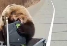 Photo of video | ÎnKamceatka el e șeful: Un urs, surprins în timpce fură proviziile unor vânători