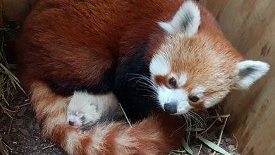 Photo of Va face furori cu blana sa. La o grădină zoologică din estul Germaniei s-a născut un pui de panda roşu