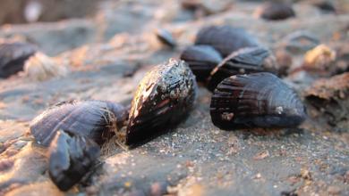 Photo of S-au copt în propriile cochilii. Mii de midii au murit de căldură pe litoralul din SUA