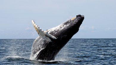 Photo of foto | Un moment unic și extrem de rar, surprins de obiectivul unui fotograf. Ce a nimerit în gura larg deschisă a unei balene?