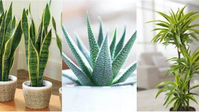 Photo of foto | Trunchiul fericirii, voalul miresei sau limba soacrei. 10 plante recomandate de NASA pentru amenajarea locuinței tale