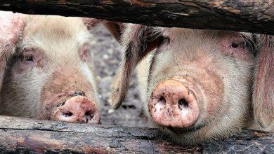 Photo of ANSA bate alarma: Noi focare de pestă porcină africană, depistate la Cahul
