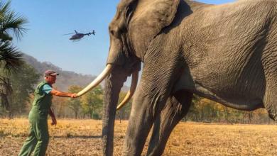 Photo of Elefanții și rinocerii vor fi mai în siguranță: Comercializarea fildeșului rămâne a fi interzisă