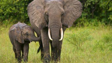 Photo of Mii de elefanți din Thailanda riscă să moară de foame din cauza pandemiei