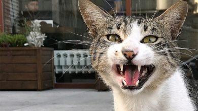 """Photo of O pisică a devenit """"arma"""" unui bărbat care voia să fugă de poliție. Ce a făcut acesta cu felina și cum ar putea fi pedepsit?"""