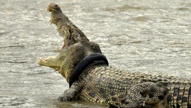 Photo of A supraviețuit cutremurelor și tsunamiurilor, dar nu poate scăpa de o anvelopă. Un crocodil trăiește de cel puțin patru ani cu un cauciuc în jurul gâtului