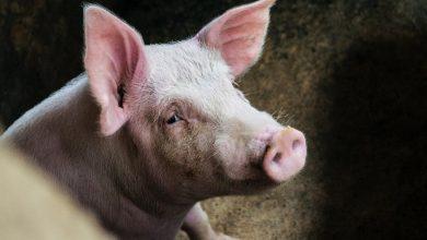 Photo of Alertă într-o gospodărie din Hâncești. Pesta porcină a nimicit 21 de porci domestici