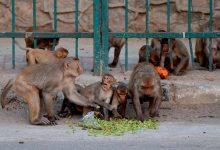 """Photo of Un angajat al sistemului medical a fost atacat de maimuțe. Acestea """"au furat"""" probe de sânge prelevate de la pacienți infectați cu noul coronavirus"""