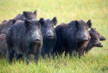 Photo of Noi cazuri de pestă porcină, înregistrate în Moldova. Au fost depistate câteva cadavre de mistreți