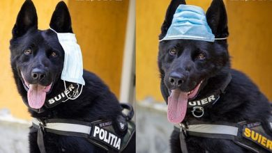 Photo of foto   Nu sub mustăți sau pe o ureche! Patrupedul polițist care te învață cum să porți corect masca de protecție