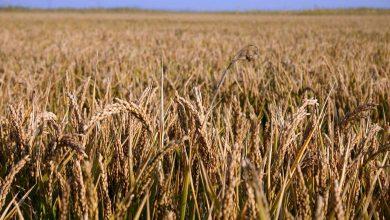Photo of Prețul pâinii ar putea exploda din cauza caniculei și schimbărilor climatice. Cotațiile grâului la bursă au crescut cu 9,5%