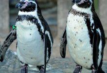 Photo of Un englez a furat doi pinguini de la Zoo şi i-a scos apoi la vânzare pe Facebook. Câţi ani de închisoare a primit
