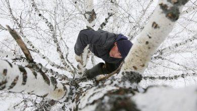 Photo of video | Rusia: Ca să aibă internet pentru cursurile online, un student se urcă într-un copac, la 8 metri înălțime