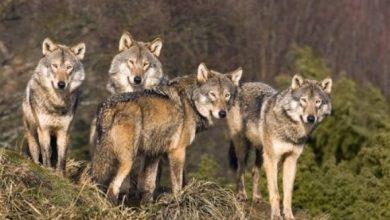 Photo of Au fost observați la stâni ziua în amiaza mare. După ce au atacat oi în raionul Florești, lupii s-ar fi deplasat la Telenești și în codrii Orheiului
