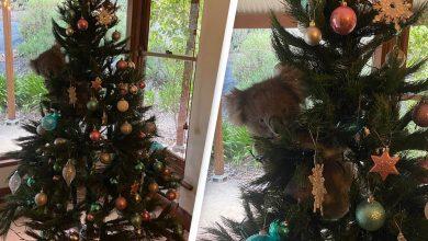 Photo of foto, video | Surpriza unei familii din Australia care a găsit un koala în bradul de Crăciun