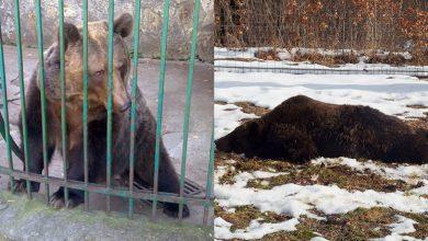 Photo of video | Are hectare la dispoziție, dar se mișcă în cerc pe același loc. Drama unei ursoaice care a fost lăsată liberă după 20 de ani în cușcă