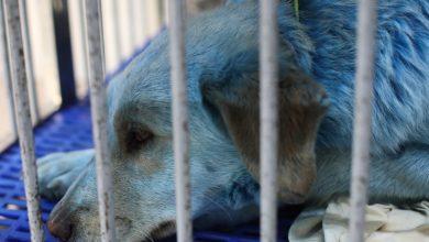 Photo of Rusia: Au apărut câini verzi, după ce o haită cu blana albastră a îngrijorat mai mulți oameni