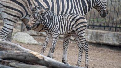 Photo of Un pui de zebră s-a născut la Grădina Zoologică din Chișinău