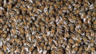 Photo of O femeie din SUA a descoperit în casa ei un stup de peste 100.000 de albine. Se întâmplă pentru a doua oară în ultimii ani