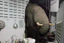 """Photo of Voia să îi spună """"bună dimineața""""? O femeie s-a trezit cu un elefant înfometat în bucătărie"""