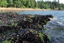 """Photo of """"Au fiert"""" pur și simplu pe plajă. Miliarde de vietăți marine, ucise de arșița din Canada"""
