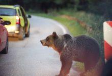 Photo of video   Fotografia cu un urs îl putea costa viața. Un bărbat, cât pe ce să fie rănit de animal pe Transfăgărășan