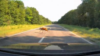 Photo of video   Atenție la căprioare! Unui șofer i-a sărit una chiar în fața mașinii